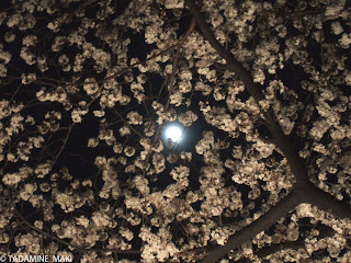 Sakura with the moon