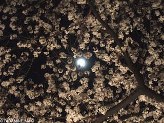 Sakura with the moon