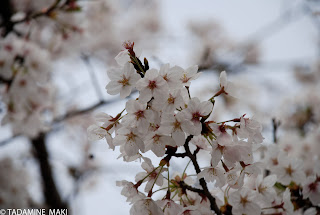 Cherry blossoms 2, Kyoto