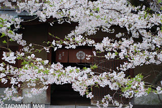 Cherry blossoms 1, Kyoto
