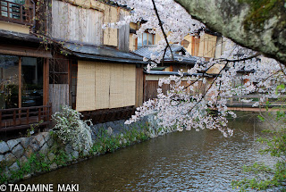 Cherry trees on a river side, Kyoto