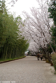 The collaboration of bamboo and cherry trees