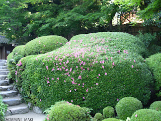 Spotted azaleas on the round trimmed vegetation, Shisendo Temple, Kyoto