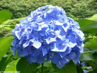 Hydrangea in season, Kyoto, Japan