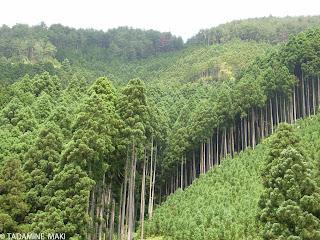 Cedar trees, Kyoto
