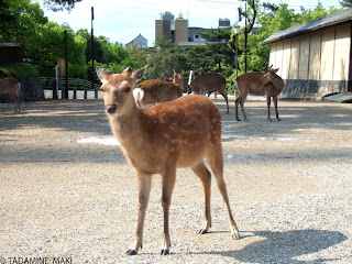 Deer, one of holy animals in Shinto religion, near Kasuga Shrine, Nara