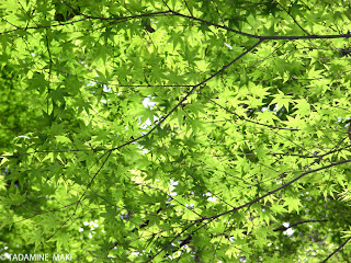 Fresh green of maple leaves, near Kozanji Temple, Kyoto