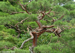 The beauty of the twisted tree (2/2), near Kyoto Imperial Palace, Kyoto