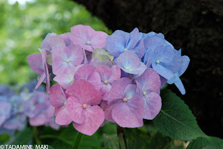 Hydrangea at its bloom, in Kyoto