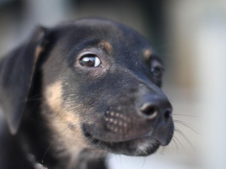 Two Sox Doberman German Shepherd Mix Puppy