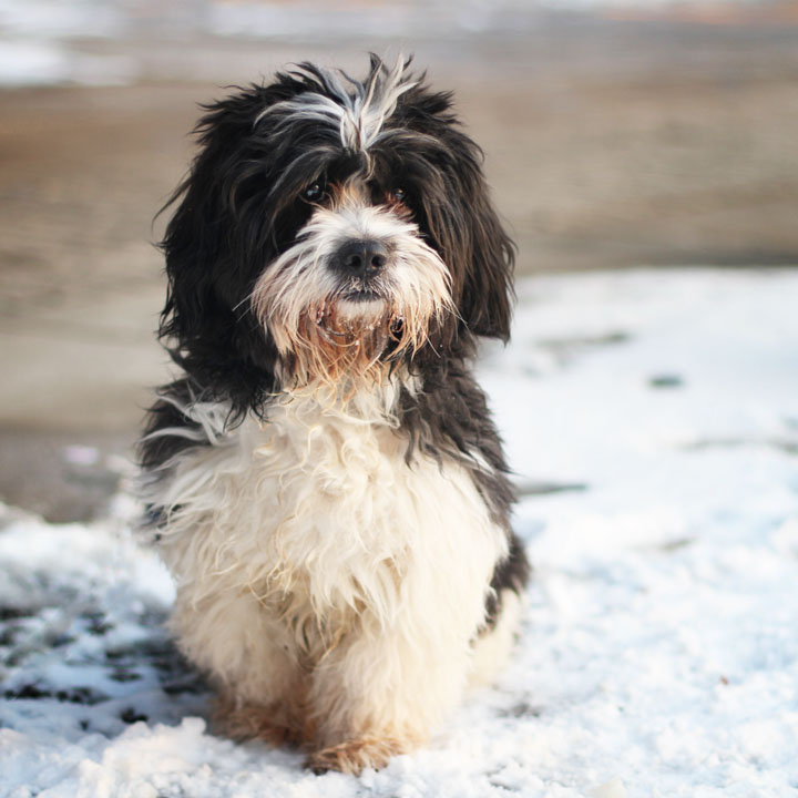 Tibet Terrier Mix