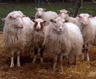 social sheep