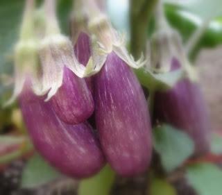 Variedades cultivadas: Berenjenas Fairy Tale