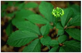 Image Result For What Does Ginseng Look Like In The Woods