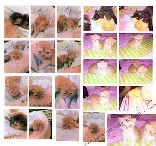 Ratoo Cattery: Jual Anakan Kucing Persia