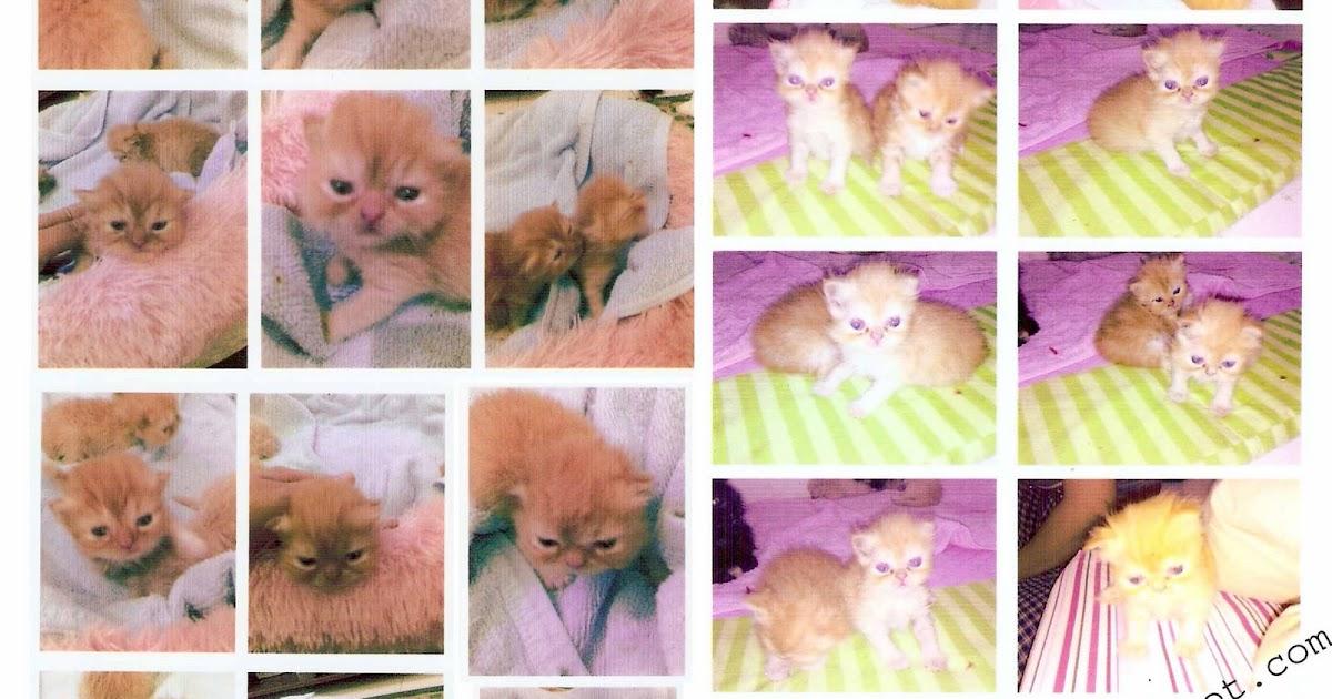 Jual Anakan Kucing