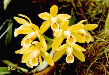 [Cattleya+luteola%2001.jpg]