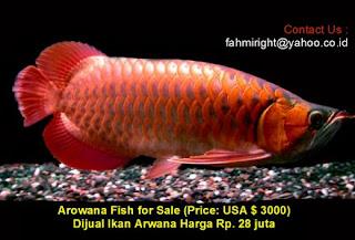 Bursaflorafauna Baru Datang Arwana Kalimantan