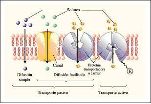 transporte de membrana celular yahoo dating
