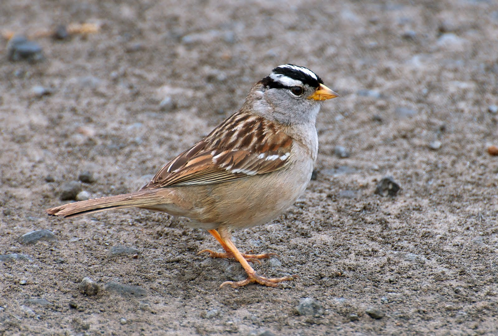 NW Bird Blog: White-crowned Sparrow
