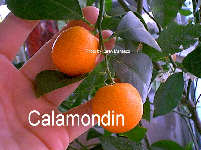 agricultural information about calamondin. Black Bedroom Furniture Sets. Home Design Ideas