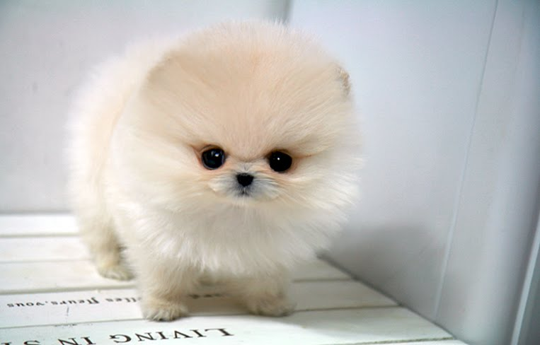 white micro teacup pomeranian teacup pomeranian puppies for free celebrity gossip 2283