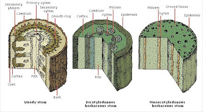Kids Research Express: Plant: Tissue Systems