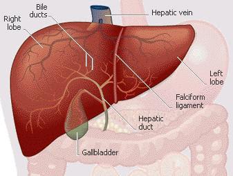 Human Body Organs Liver