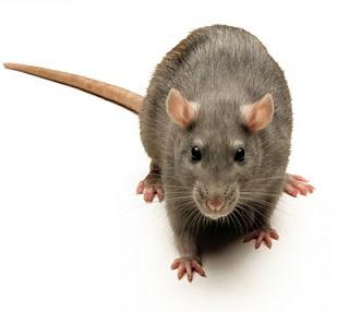 l annee du rat ou ne durera pas les tribulations d 39 une famille sur les routes de la soie. Black Bedroom Furniture Sets. Home Design Ideas