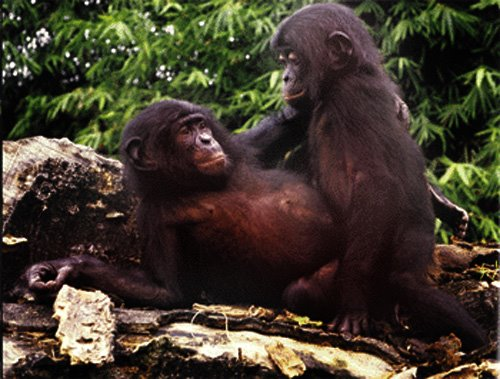 https://1.bp.blogspot.com/_vc1VEWPuSmU/SNi9hj5yj3I/AAAAAAAADV0/ONAqcYhM6WA/s1600/bonobo.jpg