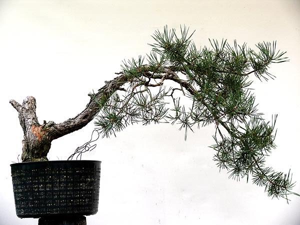 reiners bonsai blog eine geneigte kiefer im literatenstil. Black Bedroom Furniture Sets. Home Design Ideas