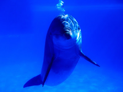BOTTLENOSE DOLPHIN FACTS FOR