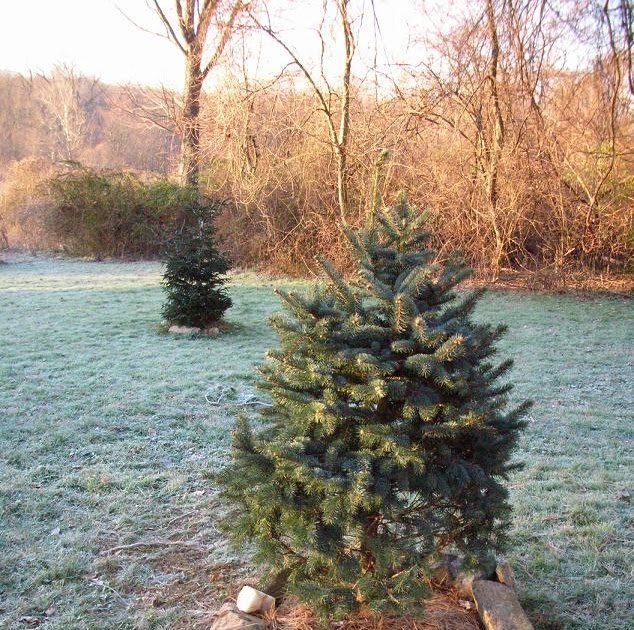 Arboreality - Tree Blogging: Planting Live Christmas Trees ...
