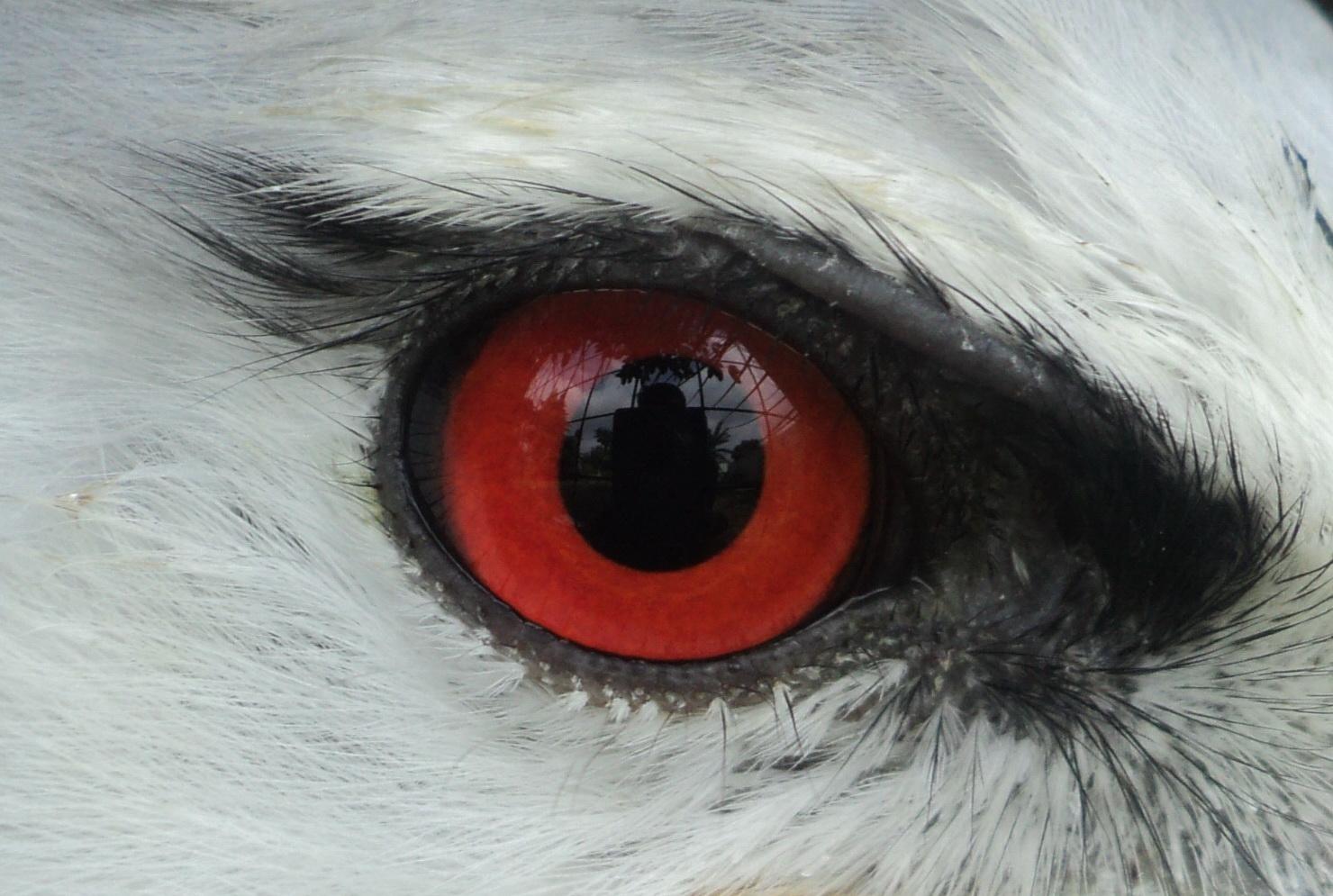 Download 107+ Foto Gambar Burung Elang Merah HD Terbaik Gratis