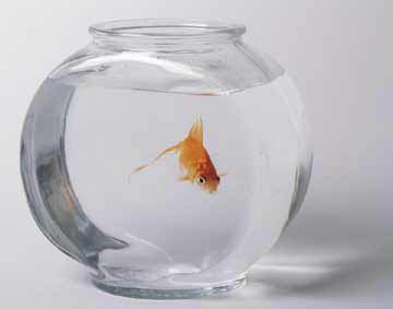 A gold fish in a bowl