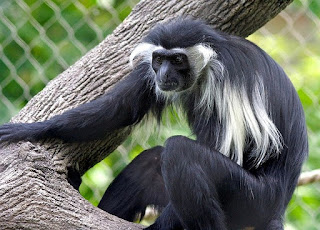 colobus angolensis monkey found in Uganda