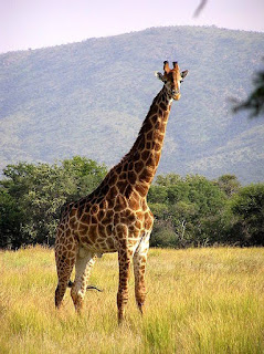 Giraffe is found in Uganda