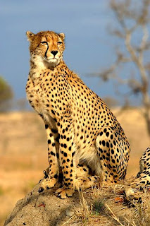 cheetah in Nigeria