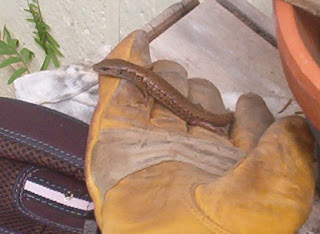 lizard on glove