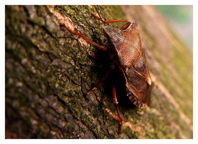 stink bug 2