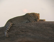Leopard, Kenya Feb 2006