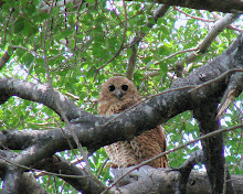 Pel's Fishing Owl, Botswana Dec 2006