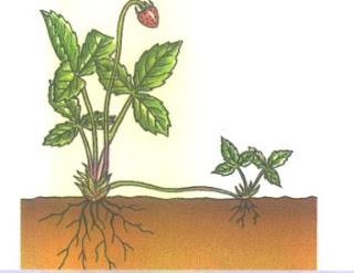 Planta de fresa reproduccion asexual
