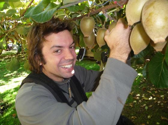Aquí estoy yo bajando kiwi en el kiwi picking de Nueva Zelanda