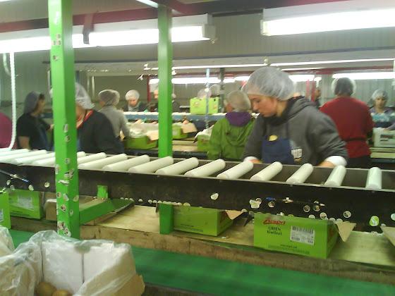 Todos trabajando en el repacking en el packhouse de Tauranga
