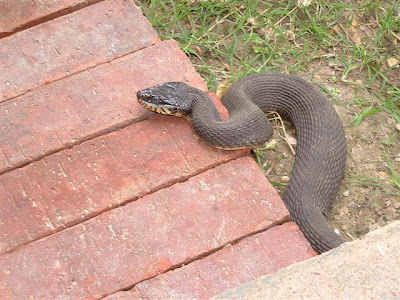 Cottonmouth Snake Information & Facts