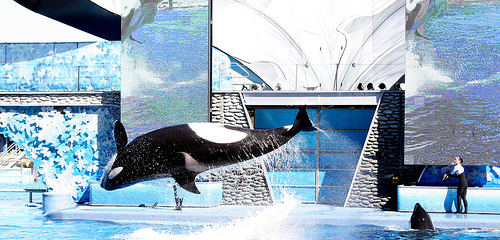 Incidents At Seaworld Parks: Another Tragic Killer Whale Death Occurs At SeaWorld