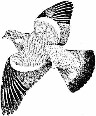 Ecologie positive p comme palombe pigeon ramier - Dessin pigeon ...
