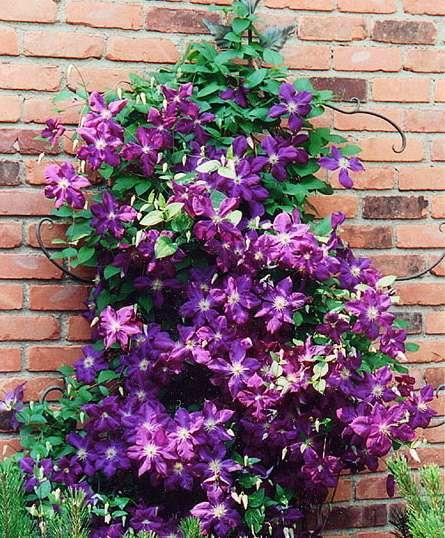 Hampton Roads Gardening: Clematis and the shade