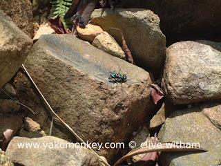 Yakushima beetle